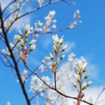 spring blossom - hay fever